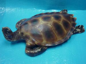 C243a.teknősbéka